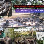 Buaya Asam Kumbang Medan Terbesar di Asia Tenggara